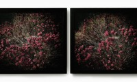 Untitled (Moment) 2002, Geraldton Wax, hand printed photographic diptych, each picture 761 x 887 cm, ed 4